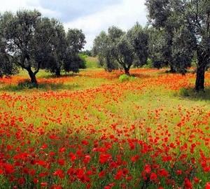 Lecce ulivi e papaveri